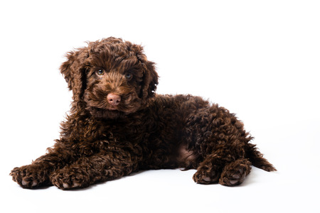 10 week old brown Labradoodle Mini Puppy dog
