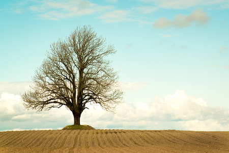 ash tree: Lonely ash tree on a field. Retro colour style. Stock Photo