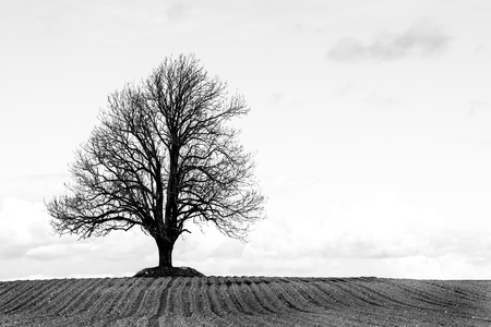 ash tree: Lonely ash tree on a field. Black and white. Stock Photo