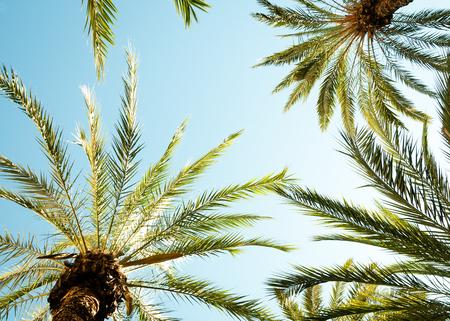 palmier: Arri�re-plan de palmier et le palmier leafs contre le ciel bleu