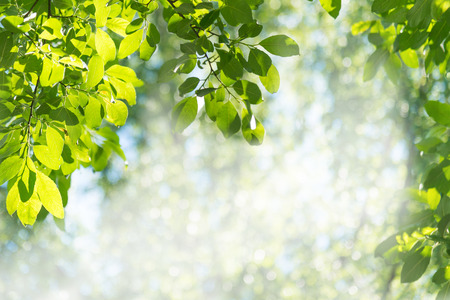 sallow: Sun shining through leaves of goat sallow in the forest Stock Photo