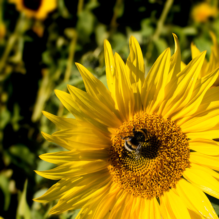 giant sunflower: Busy bee on a yellow sunflower.