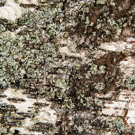 birch tree: Bark on an old birch tree