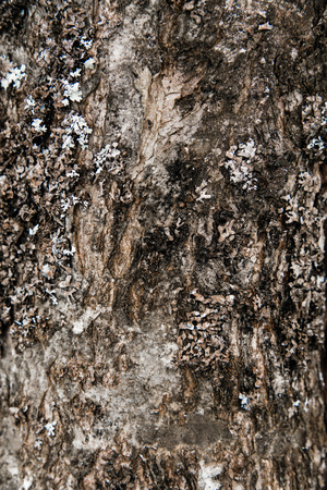 barks: Bark on an old moutain ash