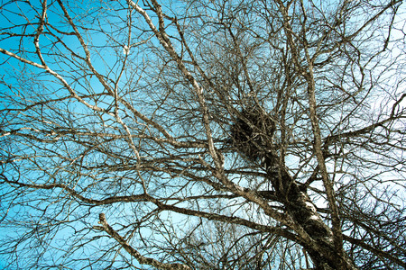 polar climate: A nest in the top of a tree winter time