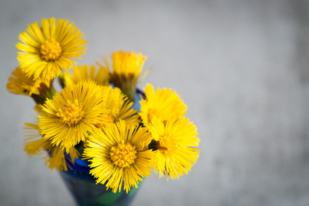 flatfoot: Tussilago Farfara, a yellow spring flower. Also called Foalfoot and Coltsfoot. Stock Photo