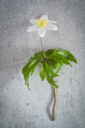 Anemone Nemorosa. A white spring flower also called  Wood anemone