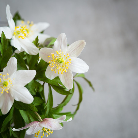 gray anemone: Anemone Nemorosa. A white spring flower also called  Wood anemone