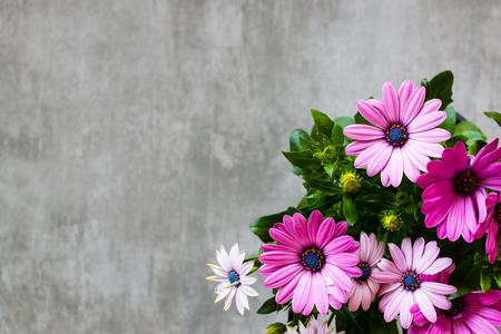 bouquet de fleurs: beau violet Marguerite Daisy sur fond de béton gris. Banque d'images