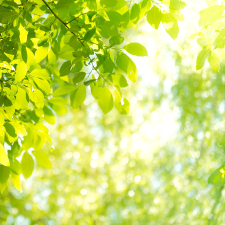 sallow: Background with sunbeam and leaves in the forest Stock Photo