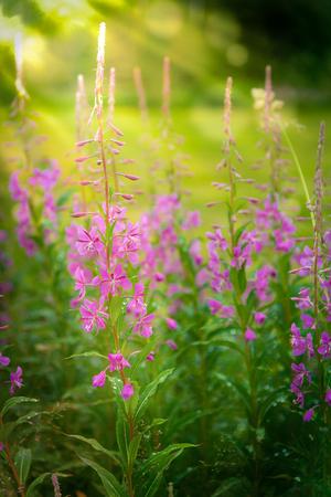 angustifolium: Chamerion angustifolium, also called fireweed. A beautiful pink purple wild flower