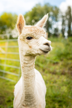 vicugna pacos: Portrait of a white alpaca outside Stock Photo