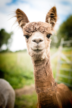 vicugna pacos: Portrait of a brown alpaca outside Stock Photo