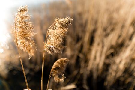 Common reed as background or texture. Phragmites australis