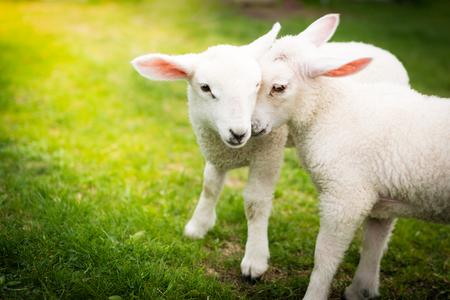 Twee lammeren die op het gras knuffelen