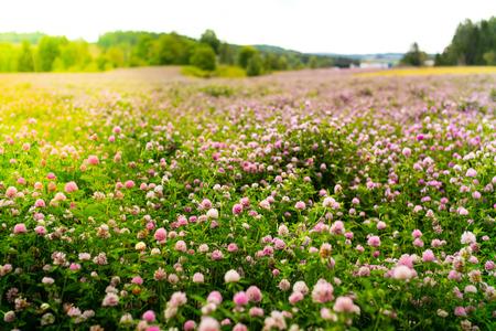 Purple clover flowers, Trifolium Pratense, outside in a field
