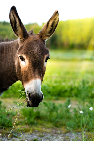 Portrait of a brown donkey eating grass outside in the meadow Stock Photo
