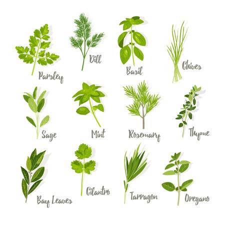 cilantro: Set of herbs isolated
