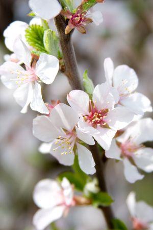 Boom bloeiende kersen (sakura)