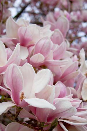 Bloeiende magnolia boom. Flower weg naar de hemel