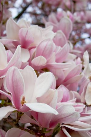 Blooming magnolia tree. Flower road to the sky