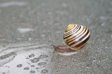 Slow moving snail after rain