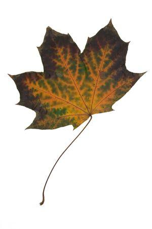 multy: Multy coloured dryed maple leaf. Canadian symbol Stock Photo