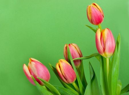 Five tulips framing a green card