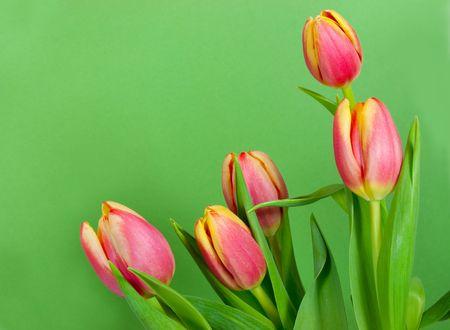 Vijf tulpen het uitstippelen van een green card  Stockfoto