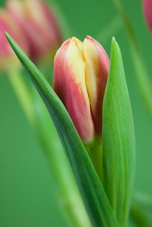 Pink and yellow tulip petal on a green background