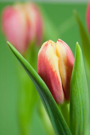 Roze en gele tulp petal op een groene achtergrond Stockfoto
