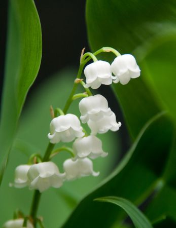 lily of the valley: Flowers Stock Photo