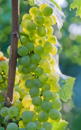 Sunset in vineyard. Green grapes of Niagara