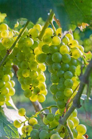 Zons ondergang in wijn gaarden. Groene druiven van Niagara