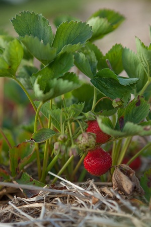 aardbeien wimper close-up met twee rode bessen, grond en stro