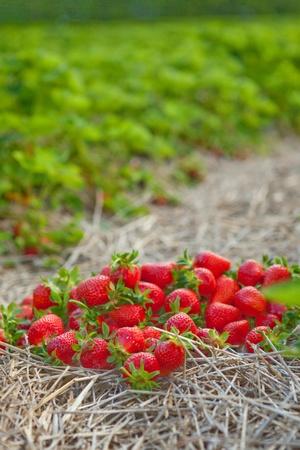 aardbeien leggen op het stro, groene wimpers, close-up Stockfoto