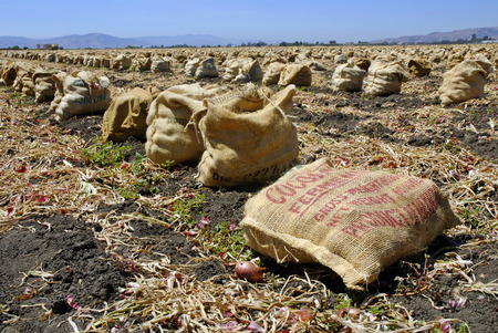 sackcloth: Freshly harvested red onions in burlap sacks on the soil in a tilled field  Stock Photo