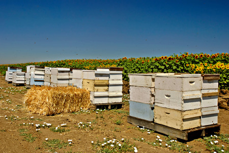 Row of bee hives next to a field of sunflowers with bees swarming in the sky photo