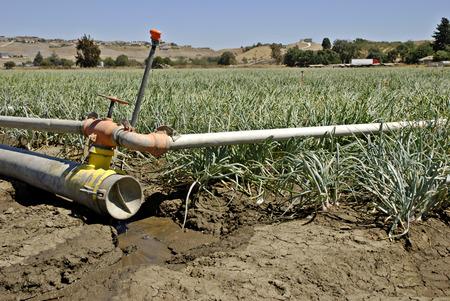 玉ねぎ収穫期に近づいている中央カリフォルニアでの作物の横にある水が滴る乾燥灌漑パイプ 写真素材