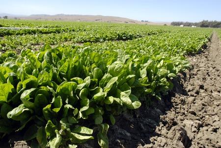 中央カリフォルニアの収穫の準備ができてフィールドで新鮮な若いホウレンソウ