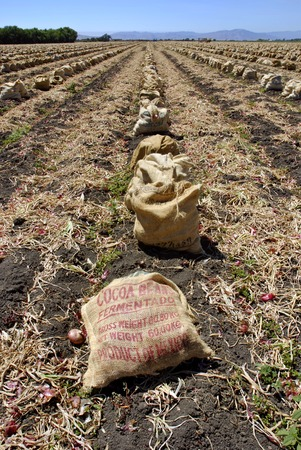 san joaquin valley: Freshly harvested red onions in burlap sacks on the soil in a tilled field