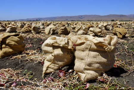 san joaquin valley: Freshly harvested red onions in burlap sacks on the soil in a tilled field  Stock Photo