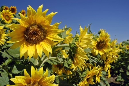 Sunflowers in a field under a bright blue sky photo