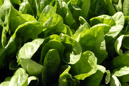 Fresh young spinach in a field in Central California ready for harvest photo