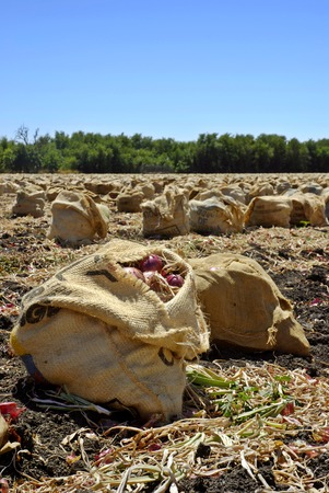 Freshly harvested red onions in burlap sacks on the soil in a tilled field