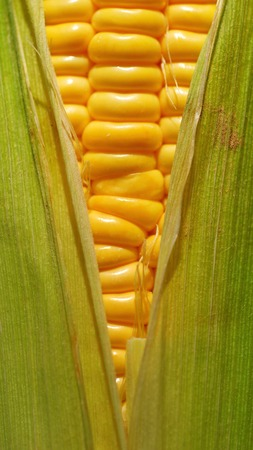 Macro of corn on the cob with husk (part of a series)