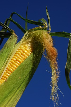 Corn on the cob with husk and corn silk set against a deep blue sky  (part of a series) Stock Photo