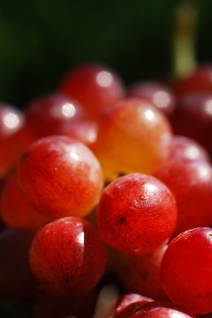 Bunch of fresh red grapes picked fresh from the garden -- macro with shallow depth of field (part of a series) photo
