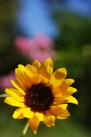 Single miniature sunflower -- shallow depth of field (part of a series) photo