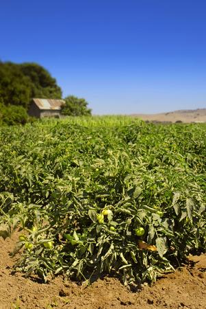 san joaquin valley: Tomato field in a valley in Central California Stock Photo